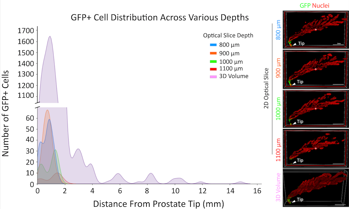 GFP + Cell Distribution